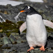 Penguin in Antarctica — Stockfoto #4844967