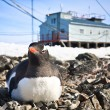 pingouins dans l'Antarctique — Photo