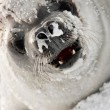 Snot-nosed seal — Stock Photo