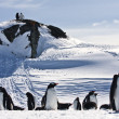 Large group of penguins — Stock Photo