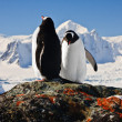 Stock Photo: Two penguins