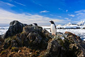 Penguin protects its nest — Stock Photo