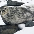Grey seal — Stockfoto #4920003
