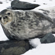 The grey seal — Fotografia Stock  #4920003