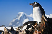 Two penguins on a rock — Stock Photo