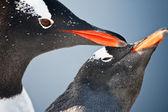 Twee pinguïns in antarctica — Stockfoto