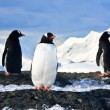 Stock Photo: Penguins on rock in Antarctica