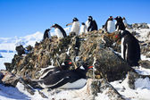 Penguins on rock — Stock Photo