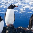 Group of penguins — Stock Photo #5309292