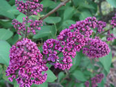 Lilac flowers on the bush — Stock Photo