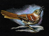 Color Pencil Drawing of Brown Thrasher (Bird) — ストック写真