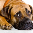 Puppy of girl of 8 months of rare breed South Africboerboel p — Stock Photo #5100162