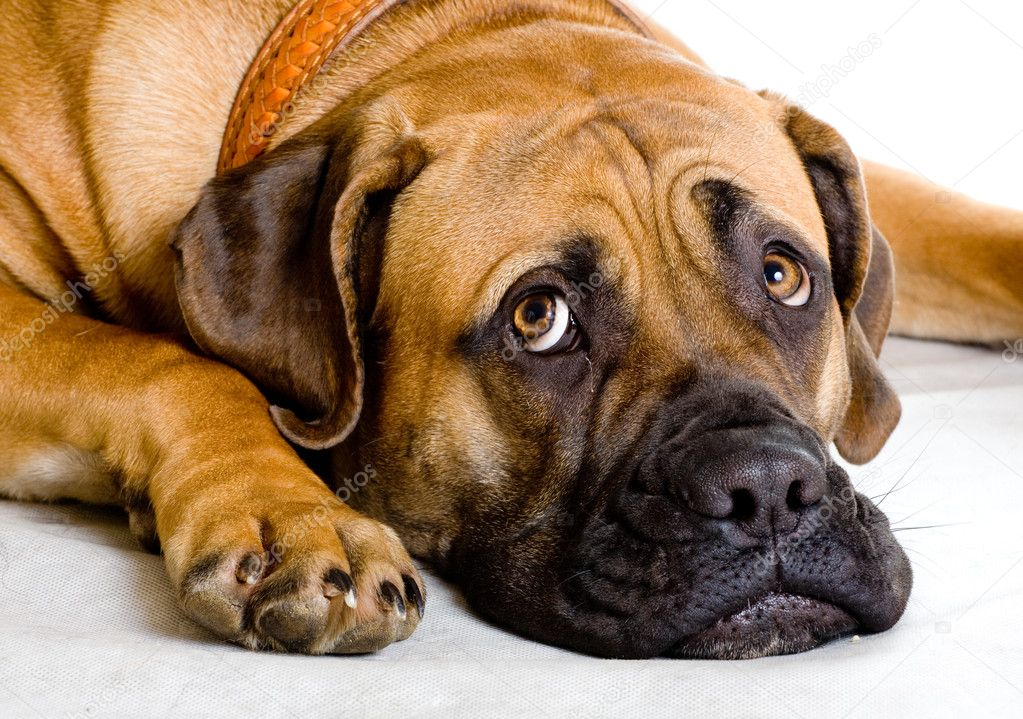 ... girl of 8 months of rare breed South African boerboel p - Stock Image