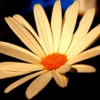 Stock Photo: Daisy detail
