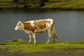Cow in the azores islands — Stock Photo