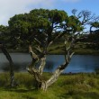 Trees azores — Stock Photo