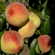 Peaches — Stock Photo