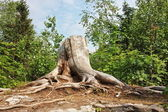 Old stump with roots in summer — Stock Photo