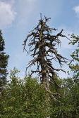 Old dry tree — Stock Photo