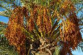 Fecha-árbol con fecha maduro — Foto de Stock