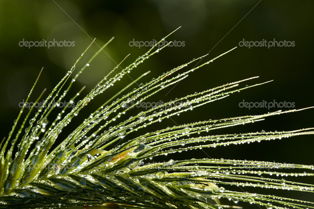 Twinkle drops on a grass spikelet — Stock Photo #4901345