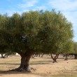 Olive grove — Stock Photo