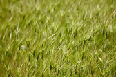 Goat grass spikelet — Stock Photo