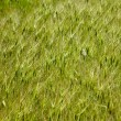 Goat grass texture — Stock Photo