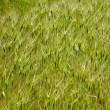 Goat grass texture — Stock Photo #4954777