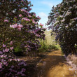 Lane between flowering rhododendron shrubs — Stock Photo #5230693