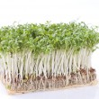 Cress over white — Stock Photo #4484001