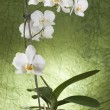 Beautiful white orchid — Stock Photo #4484070