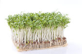 Cress over white — Stock Photo