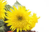 Beautiful yellow sunflower over white background — Stock Photo