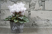 White cyclamen in a flower pot — Stock Photo