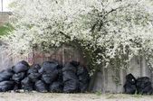 Blooming tree and sweepings sacks — Stock Photo