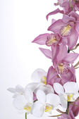 Beautiful orchids over white background — Stok fotoğraf