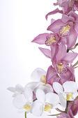 Bellissime orchidee su sfondo bianco — Foto Stock