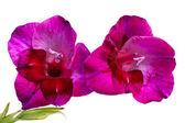 Lila gladiolus isolerad på vit — Stockfoto