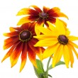 Rudbeckia hirta var angustifolia. Black-eyed Susan - Stock Photo
