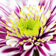 Gerbera with a drop of water on the stamens — Stock Photo