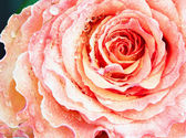Background of pink rose — Stock Photo