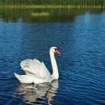 Swan — Stock Photo