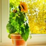 Sunflower — Stock Photo #3994357