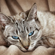 Cat with blue eyes — Stock Photo