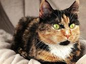 Chat aux yeux verts — Photo