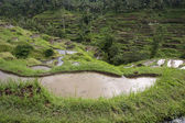 Rijst veld — Stockfoto