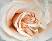 White rose, closeup — Stock Photo