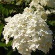 White Hydrangea — Stock Photo #4657980