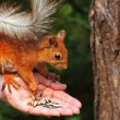 Squirrel eating sunflower seeds — Stock Photo #5016435